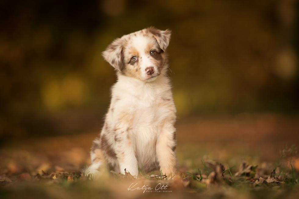 Fotografie Hund, Natur, Dog, Hund und Mensch, Australian Shepherd, Welpe