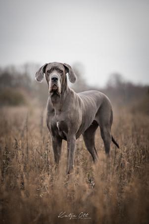Fotografie Hund, Natur, Dog, Hund und Mensch, Deustche Dogge