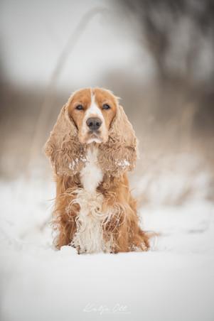 Fotografie Hund, Natur, Dog, Hund und Mensch, Cockerspaniel, Winter