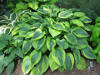 ruth doxon Alex summers hosta.JPG