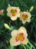 Ruth Doxon apricot day lilly.JPG