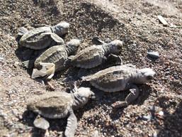 5 hatching turtles.jpg