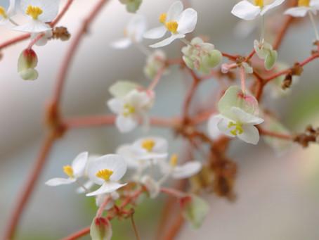 The Spiritual Properties of Begonia—Your Fresh Start