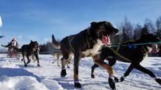 Iditarod 2021 begins on March 6th 2021!