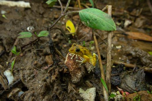 Buergeria japonica