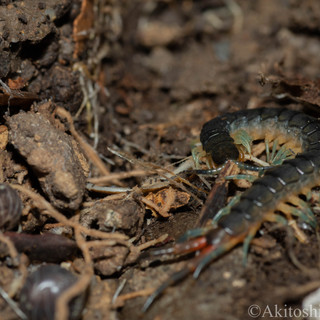 Blue centipede