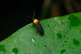 Luciola owadai