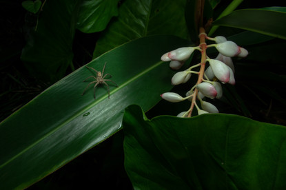 Heteropoda venatoria