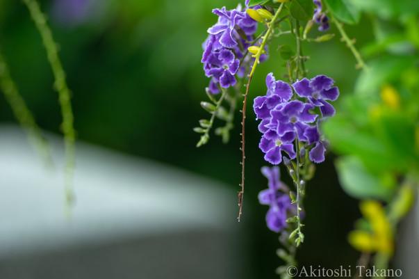 紫と風の音