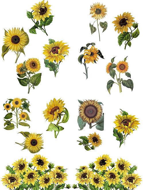 Sunflower Transfer