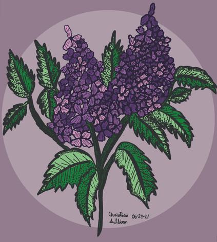 lilac sketch color.jpg