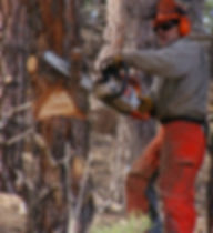 Chainsaw_cutting_tree.jpg