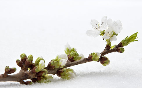cherry-blossom-5995004_1920.jpg