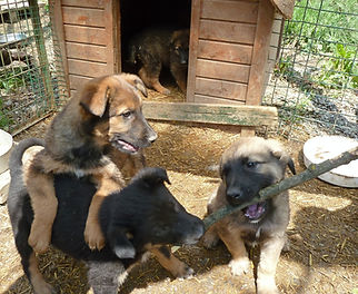 hundewelpen.jpg