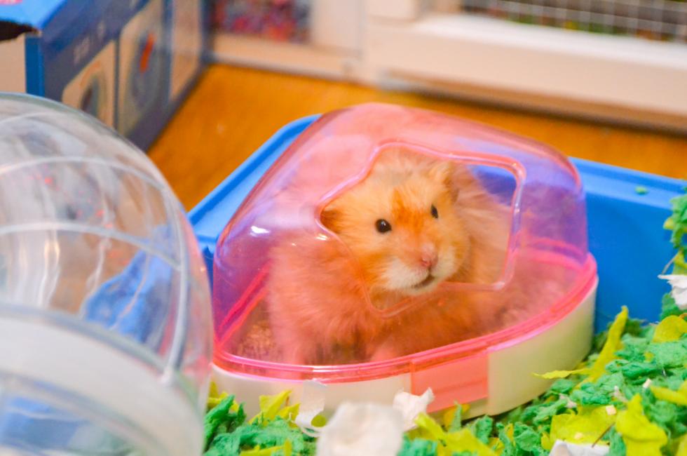 My beloved hamster Teemo
