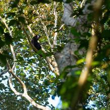 Gibbon in habitat