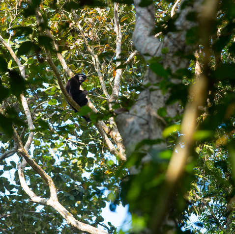 Gibbon in habitat
