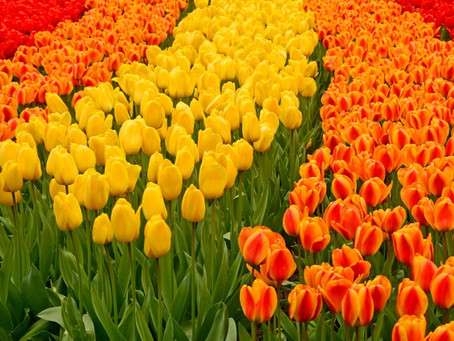 Lesson of Harmony from Tulip Gardens