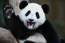 Acupuncture Panda