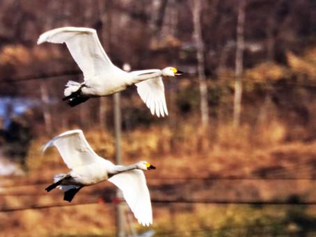 Swans on the rice fields in Ishikari