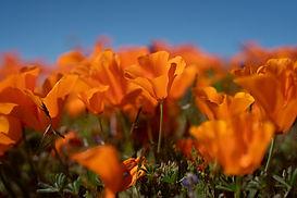 poppies_01.jpg