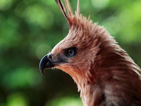 Elang Jawa, Si Garuda Indonesia yang Terancam Punah