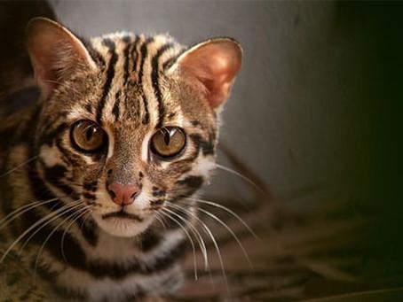 "Ciri Fisik dan Fakta Kucing Congkok ""Anakan Macan"" yang Terancam Punah"