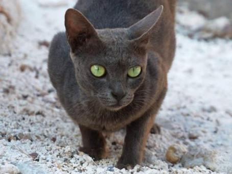 Mengenal Kucing Busok Dari Pulau Raas, Sumenep - Kucing Ras Asli Indonesia