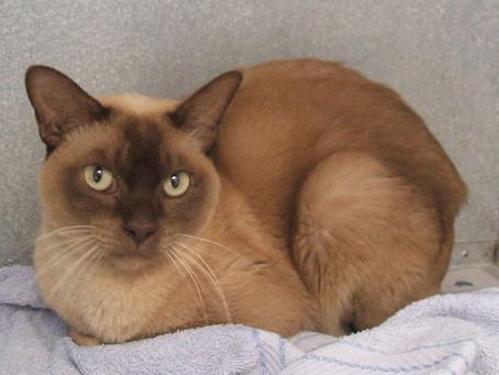 Mengenal Asal Usul Hingga Karakter Si Kecil Menggemaskan Kucing Burma