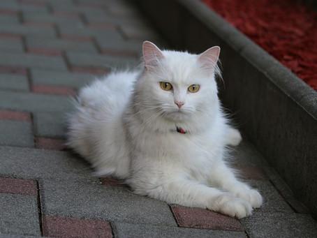 Cara Memandikan Kucing Anggora Agar Tidak Berontak