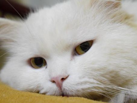 Perbedaan Kucing Anggora dan Persia Ditinjau dari Berbagai Sisi