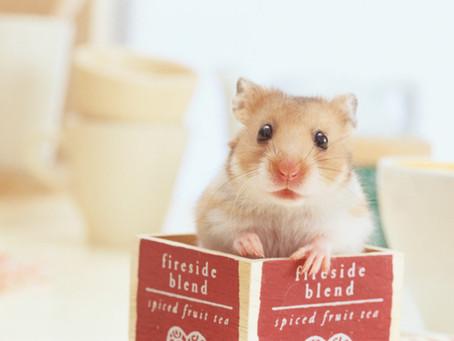Memelihara Hamster untuk Pemula, Ini Tips Mudah Perawatannya