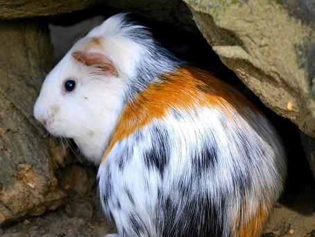 7 Tips Memelihara Guinea Pig agar Tidak Mudah Sakit