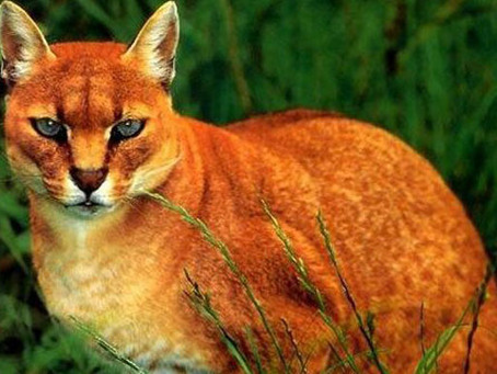 Fakta Kucing Emas yang Ternyata Merupakan Hewan Hampir Punah