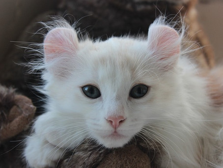 """Mengenal American Curl, Kucing Unik """"Bertanduk"""""""