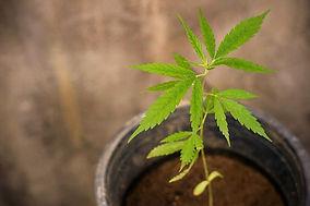 cbd-thai-cannabis-cannabis-background-he