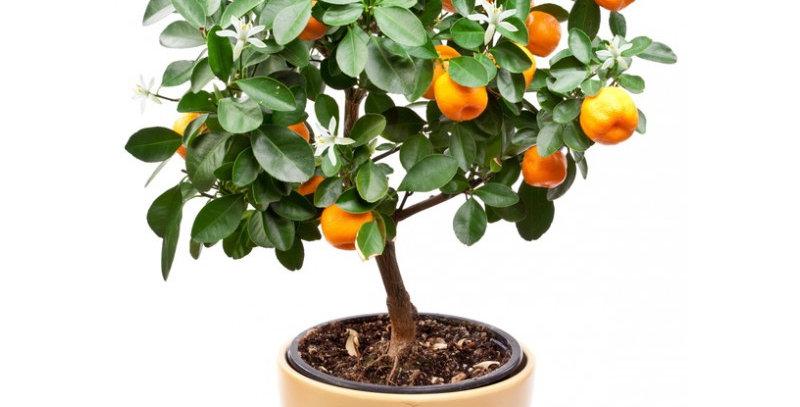 Plante Agrume