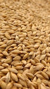 seleccion optica de trigo peru.png