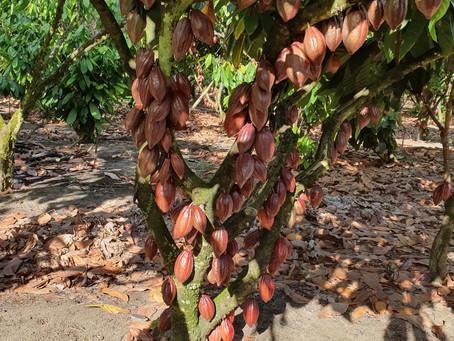 Un viaje a las fincas cacaoteras en Bahía - Brasil