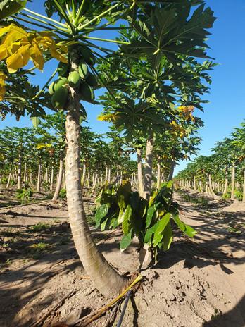 papaya cacao.jpg