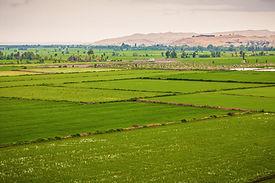 campo de arroz en arequipa.jpg