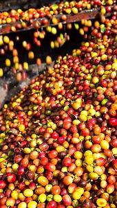 seleccion optica de cafe cerezo peru.png