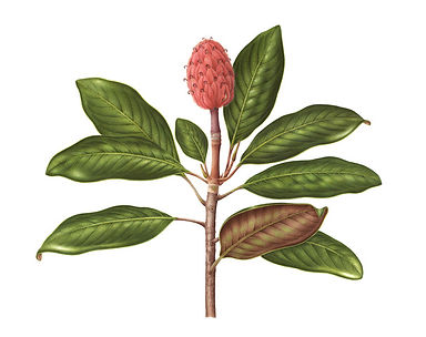 DiCostanzo_Carrie_Magnoliagrandiflora co