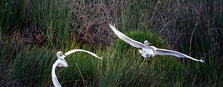 Dueling Wings