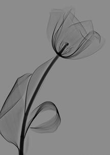 Lanuma_Tulip