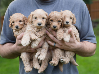 Labradoodle Puppies, Five weeks old