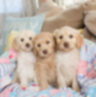 Cute labradoodle puppies