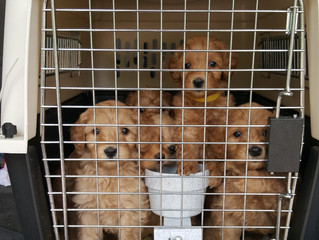 Labradoodle Puppies Wellness Visit