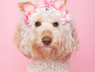 So what is an 'Australian Labradoodle' anyway?