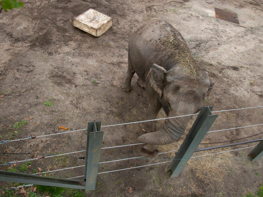 Human rights for elephants?
